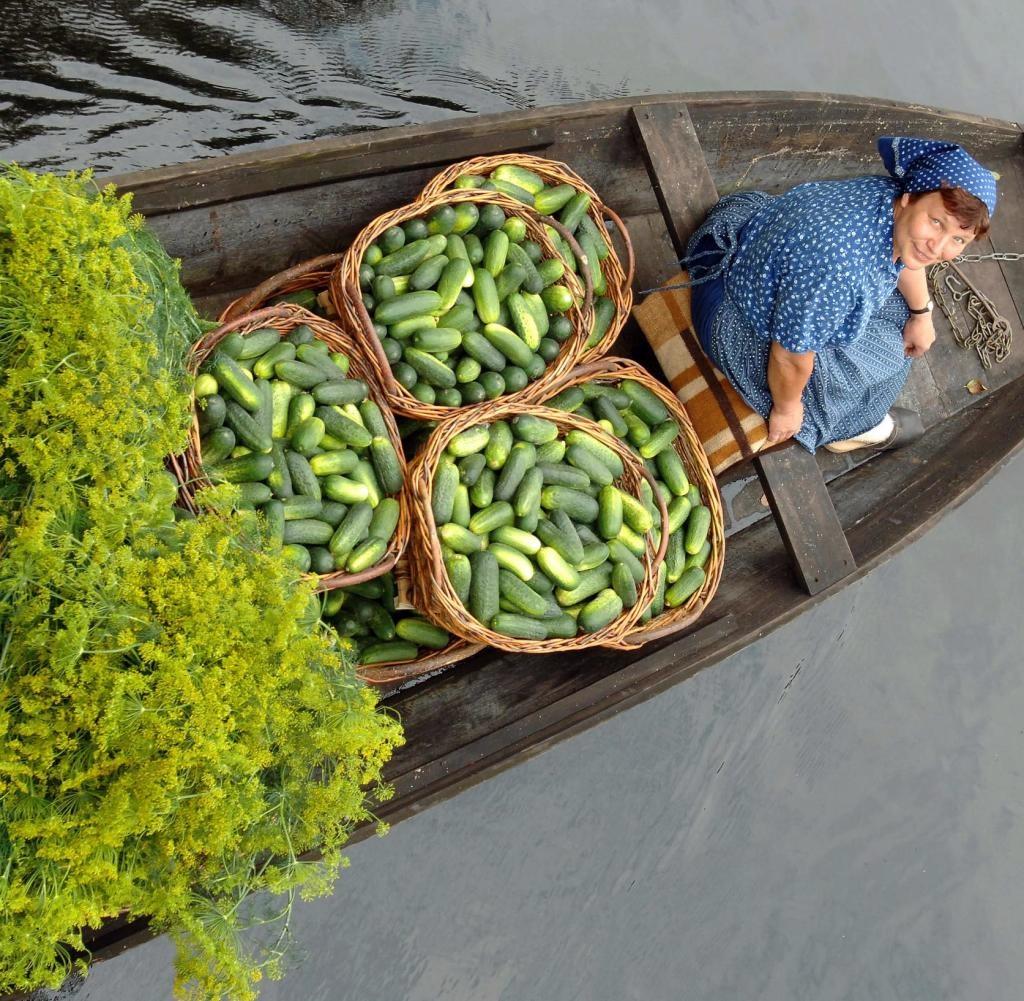 A frissen szedett uborka vízi útja a feldolgozáshoz