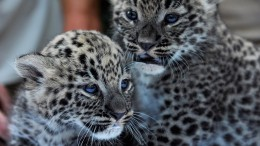 A Nyíregyházi Állatpark 4 hetes perzsa leopárd kölykei