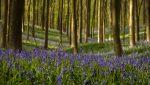 A kék csengő varázserdeje: The Blue Forest