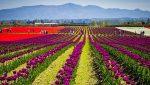 Újvilági tulipánfesztivál