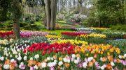 Európa virágoskertje: Keukenhof