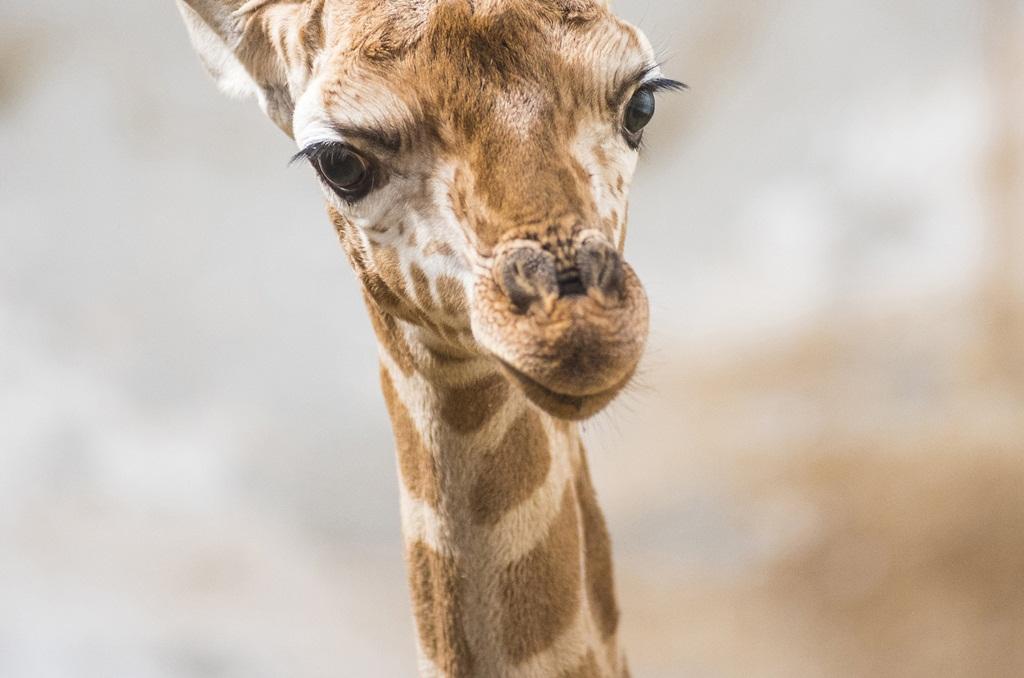A Nyíregyházi Állatparkban jelenleg három felnőtt nőstény (Bogi, Laura, Vanesa, ), egy hím (Árpi), s 2 fiatal egyed él; a 2 hetes borjú mellett , Kamilla a 3.5 éves nőstény is megtekinthető; MTI Fotó: Balázs Attila