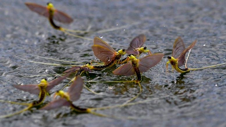 Tiszavirágok a Tisza tiszacsegei szakaszán június 10-én; MTI Fotó: Czeglédi Zsolt