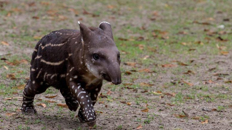 A vasárnap született több mint 6 kg-os csíkos, pöttyös testű tapír bébilány